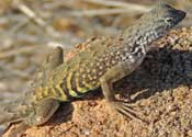 Greater Earless Lizard © by Mike Plagens