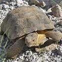 Desert Tortoise © by John Gunn