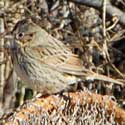 Lincoln's Sparrow in Sycamore Canyons