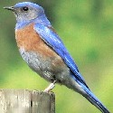 Western Bluebird photo © Walter Siegmund