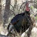 Wild Turkey photo © Walter Siegmund
