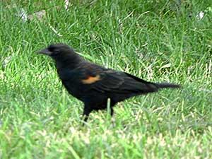Red-winged Blackbird, Agelaius phoeniceus, photo © by Mike Plagens