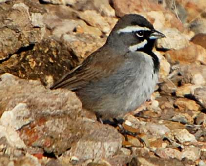 Black-throated Sparrow Photo © Mike Plagens