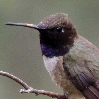Black-chinned Hummingbird, Archilochus alexandri, photo © by Michael Plagens