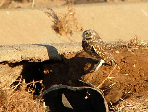 Burrowing Owl, Athene cunicularia, photo © by Mike Plagens