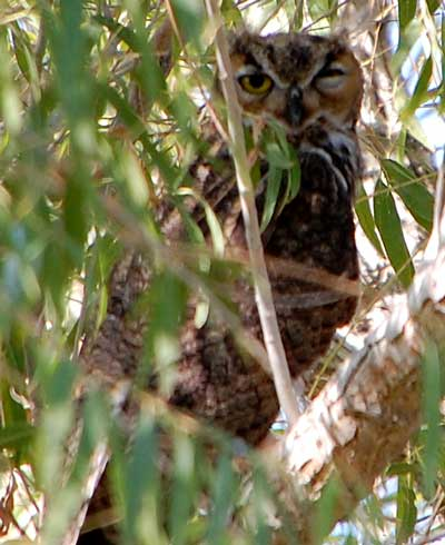 Great-horned Owl, Bubo virginianus, photo © by Mike Plagens
