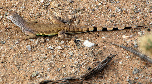 Callisaurus draconoides, Zebra-tailed Lizard, photo © Michael Plagens