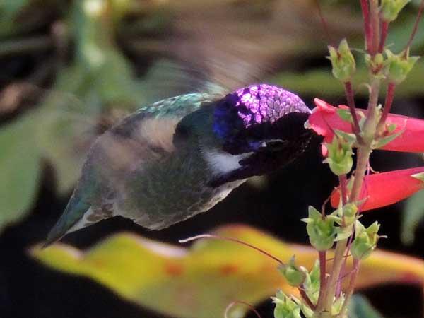 Costa's Hummingbird, Calypte costae, photo © by Michael Plagens