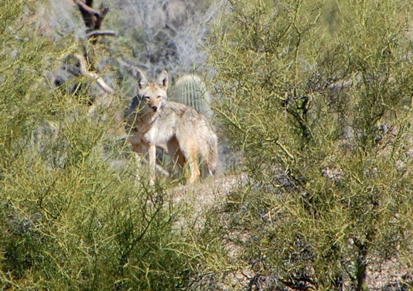 Coyote, Canis latrans, photo © by Mike Plagens