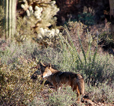 Canis latrans at Tucson Mountain Park photo © by Michael Plagens