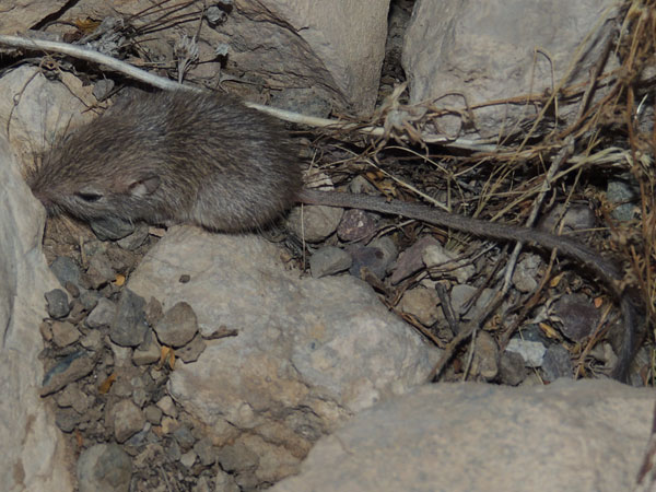 Desert Pocket Mouse, Chaetodipus penicillatus photo © by Michael Plagens