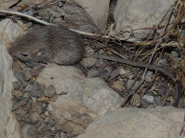 Desert Pocket Mouse, Chaetodipus penicillatus photo © by Michael Plagens