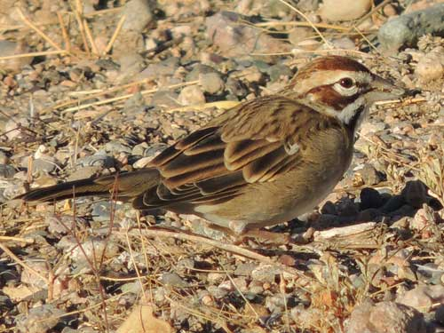 Lark Sparrow, Chondestes grammacus, photo © by Michael Plagens