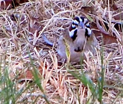 Lark Sparrow, Chondestes grammacus, photo © by Michael Plagens