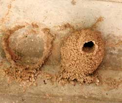 cliff swallow nests are constructed of mud and are affixed to the underside of bridges