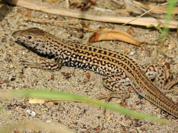 Western Whiptail Lizard, Cnemidophorus tigris © Mike Plagens