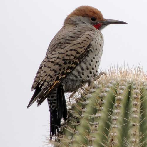 Gilded Flicker, Colaptes chrysoides, photo © by Mike Plagens