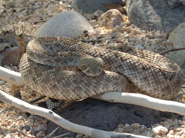 Crotalus atrox photo © by Michael Plagens