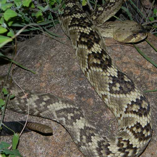Black-tailed Rattlesnake, © by Michael Plagens taken near the East Verde River n. of Payson, Gila Co., Arizona. July 2010