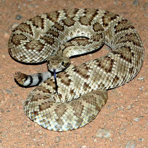 Crotalus scutulatus photo © by Michael Plagens