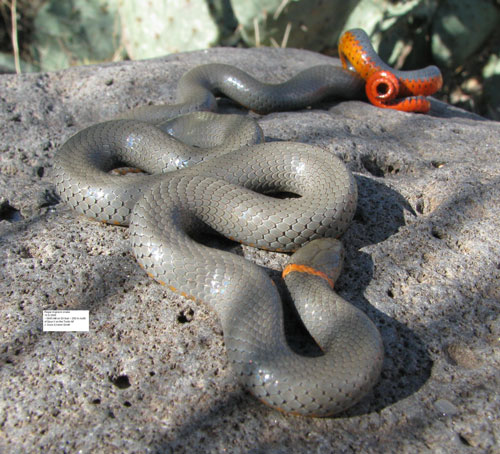 Regal Ringneck Snake, Diadophis punctatus, photo by John Gunn