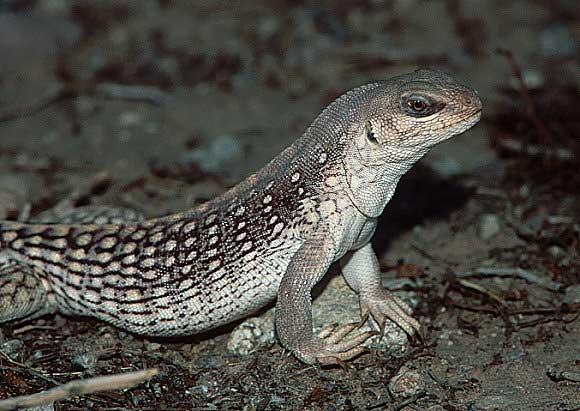 Desert Iguana, Dipsosaurus dorsalis, photo © by Pete Moulton