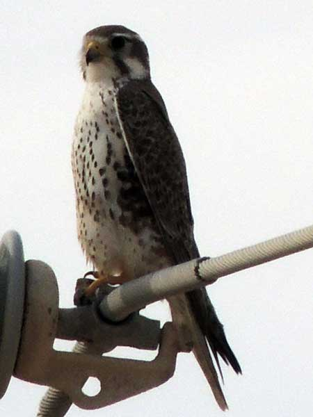 Prairie Falcon, Falco mexicanus, photo © by Mike Plagens