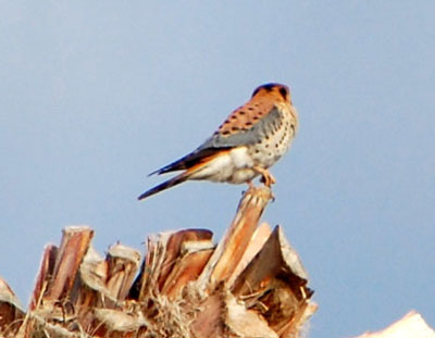 American Kestrel, Falco sparverius, photo © by Mike Plagens
