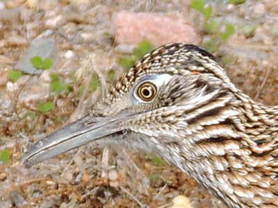 Greater Roadrunner, Geococcyx californianus, Photo © by Mike Plagens