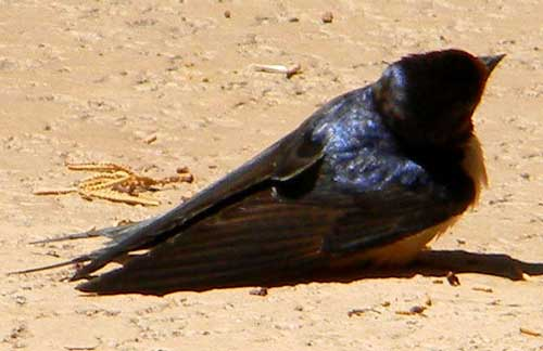 Hirundo rustica taking heat treatment photo © by Robert Shantz