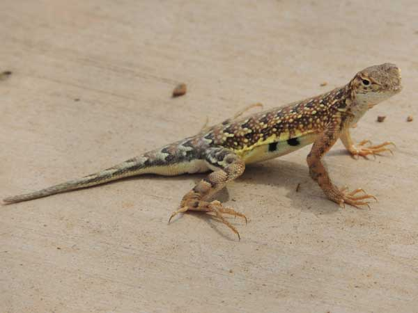 Elegant Earless Lizard, Holbrookia elegans, © by Michael Plagens. July 2010