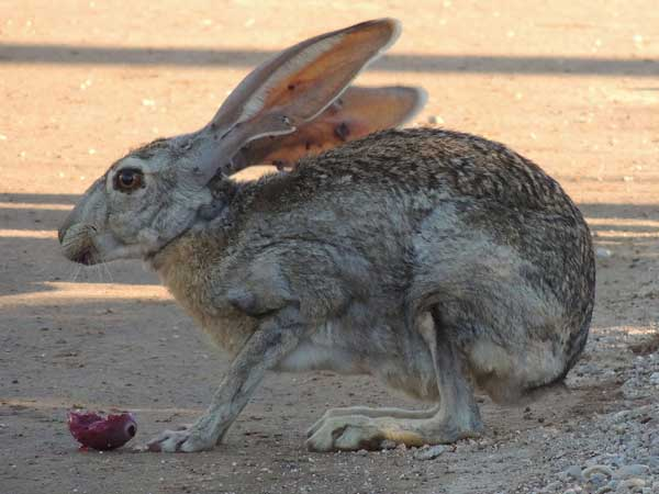 Antelope Jackrabbit, Lepus alleni, photo © by Michael Plagens