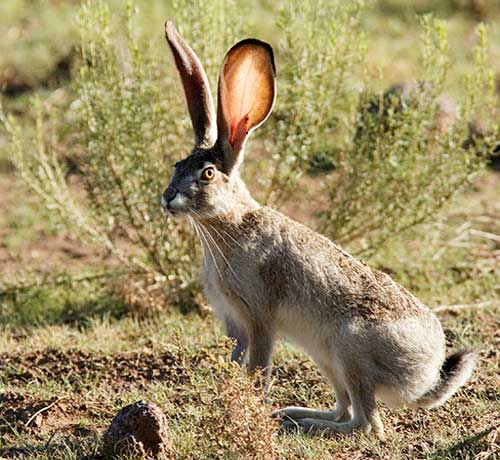 Black-tailed Jackrabbit, Lepus californicus, photo © by Robert Shantz