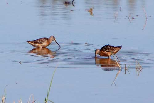 Long-billed Dowitchers, Limnodromus scolopaceus, photo © by Michael Plagens
