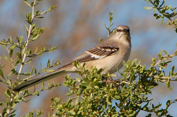 Northern Mockingbird photo © Mike Plagens