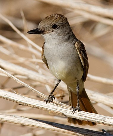 Brown Crested Flycatcher, Myiarchus tyrannulus, photo © by Robert Shantz