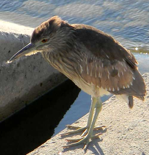 Juvenile Black-crowned Night-Heron, Nycticorax nycticorax, photo © by Michael Plagens