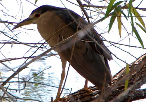 Black-crowned Night-Heron, Nycticorax nycticorax, photo © by Michael Plagens