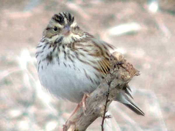 Savannah Sparrow, Passerculus sandwichensis, photo © by Michael Plagens