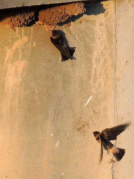Petrochelidon pyrrhonota, Cliff Swallow, photo © by Michael Plagens