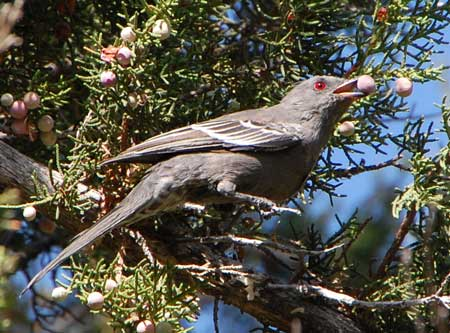 female Phainopepla taking juniper berries © by Michael Plagens