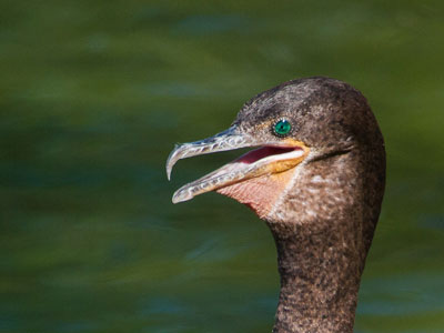 Close-up of Neotropic Cormorant eye photo © by Allan Ostiling