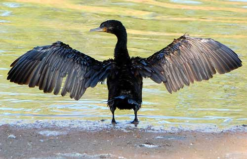 Neotropic Cormorant, Phalacrocorax brasilianus, photo © by Michael Plagens