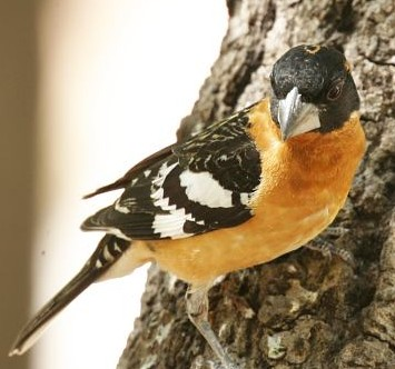 Black-headed Grosbeak, Pheucticus melanocephalus, photo © by Robert Shantz