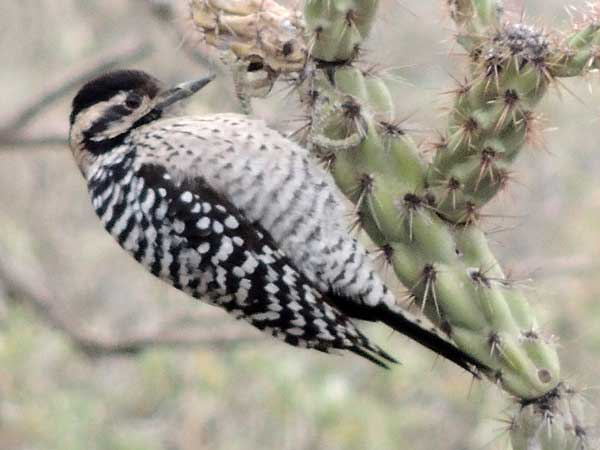 Ladder-backed Woodpecker, Picoides scalaris, photo © by Michael Plagens