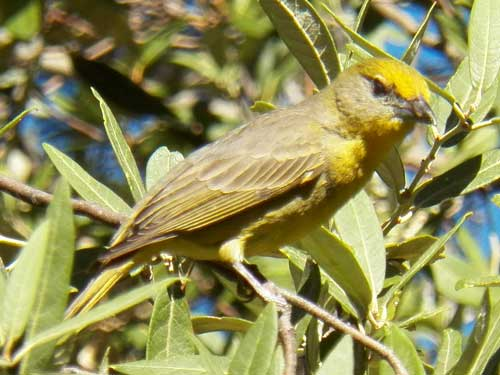 Hepatic Tanager, Piranga flava, photo © by Michael Plagens
