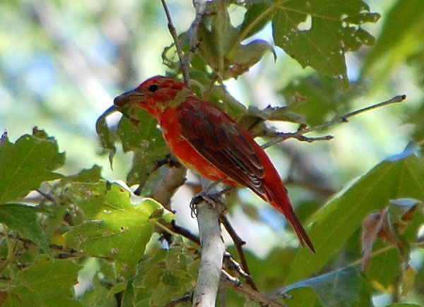 First year male Summer Tanager, Piranga rubra, photo © by Michael Plagens
