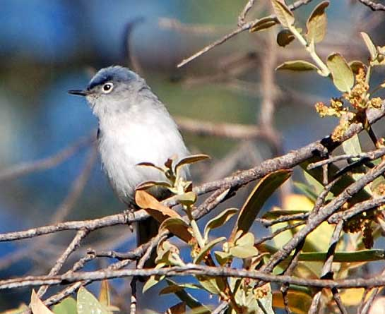 Blue-gray Gnatcatcher, Polioptila caerulea, photo © by Michael Plagens