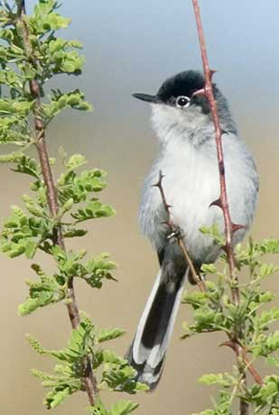 Black-tailed Gnatcatcher, Polioptila melanura image © by Robert Shantz