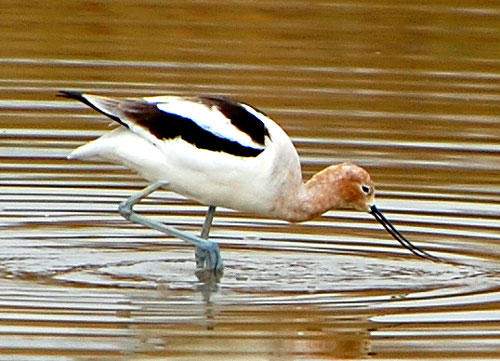 American Avocet, Recurvirostra americana, photo © by Michael Plagens